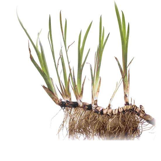 Аир представляет собой травянистое растение, обитающее в основном на болотах