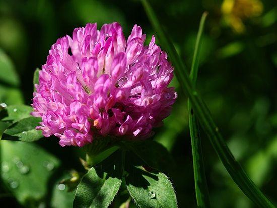 наши предки только стали использовать растения в лечебных целях, клевер широко применялся для исцеления заболеваний онкологического типа