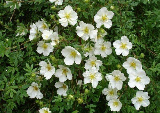 Лапчатка белая: полезные свойства и противопоказания