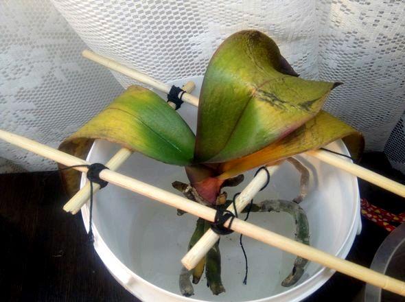 Янтарная кислота для орхидей в таблетках как применять Растворяют вещество