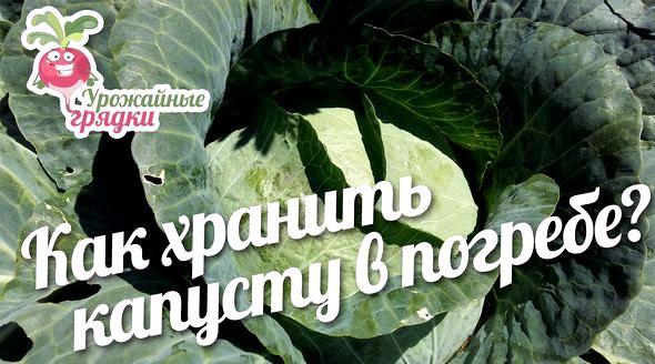 Как хранить капусту в погребе до весны тогда даже поздней