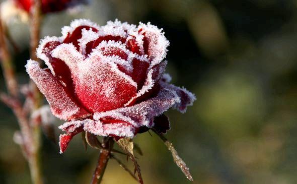 Как подготовить розы к зиме на даче коем случае не сгребайте