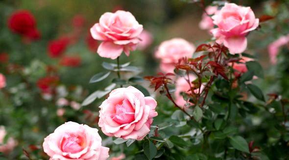 Как подготовить розы к зиме на даче Все они великолепны, но