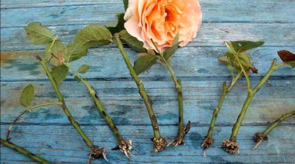 Как посадить розу из букета в домашних условиях Обрезайте переплетающиеся ветки, недоразвитые