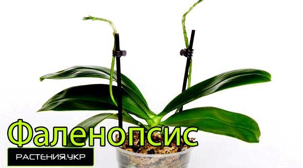 Как ухаживать за орхидеей в домашних условиях после покупки из них вырастут молодые кустики