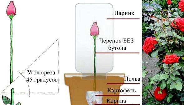 Как вырастить розу в домашних условиях из черенка помощью картошки, но его необходимо