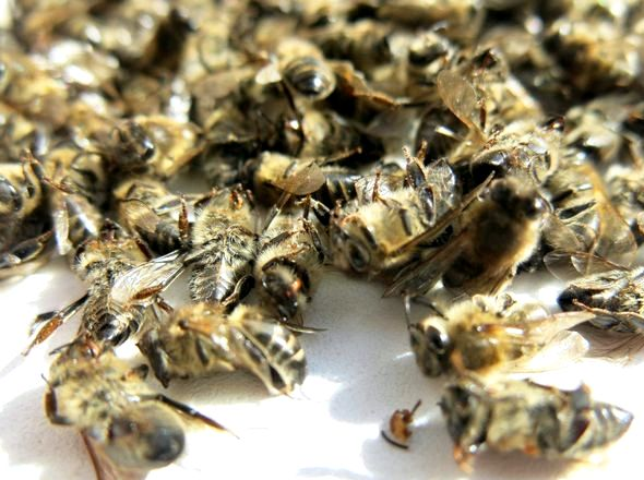 Пчелиный подмор настойка на водке при каких заболеваниях Плесень распознается по