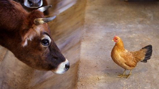 Какая печень полезнее - говяжья или куриная?